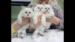 Презентация питомника сибирских кошек PCA Снежный ангел