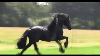Фризы, самые красивые лошади