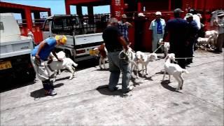 優良品種の山羊を沖縄本島から19匹搬送