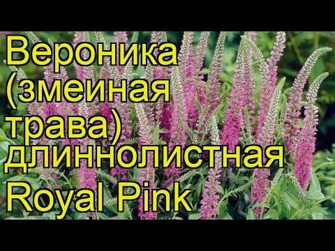 Вероника длиннолистная Королевский розовый. Краткий обзор, описание veronica longifolia Royal Pink