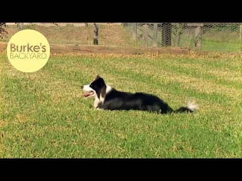 Burke's Backyard, Border Collie Road Test