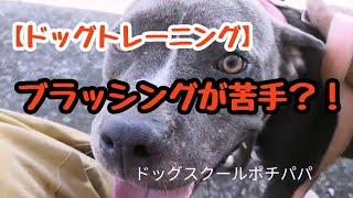 アメリカンピットブルテリア七味ちゃんは動画に映ってるだけです。 ブラ...