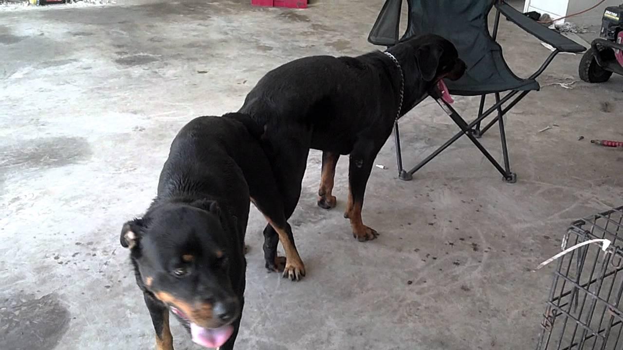 K9 By Blakes Rottweiler Breeding Darkco X Roxy Youtube