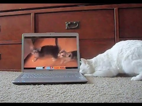 Cats reacting to cats meowing on YouTube