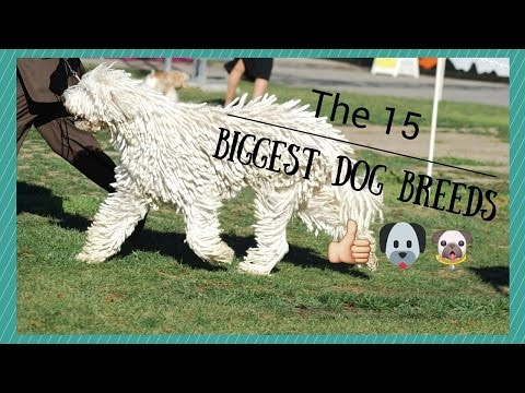 15 Biggest Dog Breeds