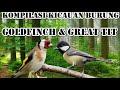 Kompilasi Kicauan Burung Goldfinch And Great Tit Cocok Untuk Masteran  Mp3 - Mp4 Download