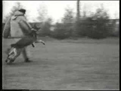 Schutzhund in Germany 1936