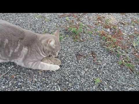 Cats hunting baby rabbit. Documentary film