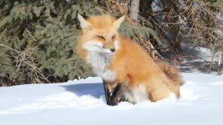 Your Majesty  Red Fox