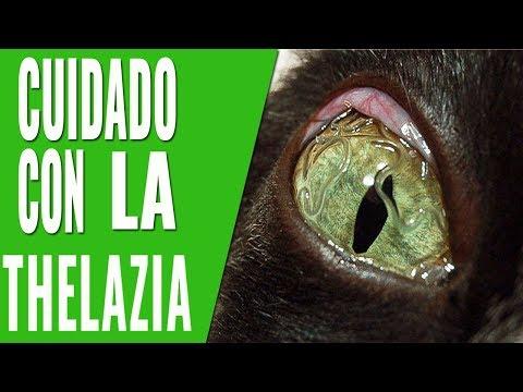 tratamiento de gusano ojo de gato