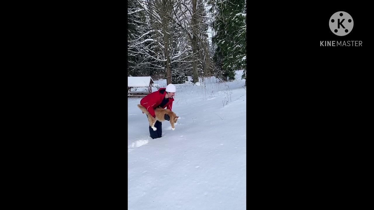Мейн-кун в снежном лесу