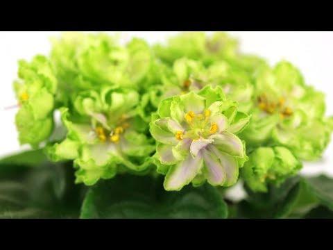 Зеленая фиалка - АВ-Морская Капуста