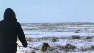 Псовая охота на зайца - русака и испытания псовых борзых собак