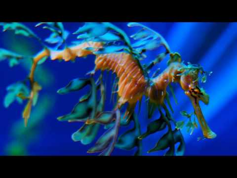 Facts: The Leafy Seadragon