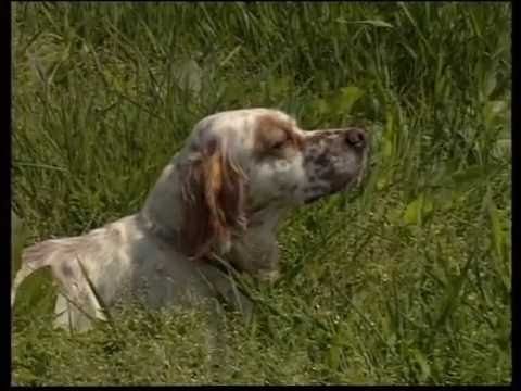 The Setter - Pet Dog Documentary English