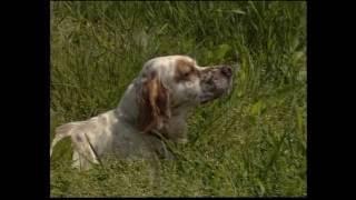 The Setter - Pet Dog Documentary English