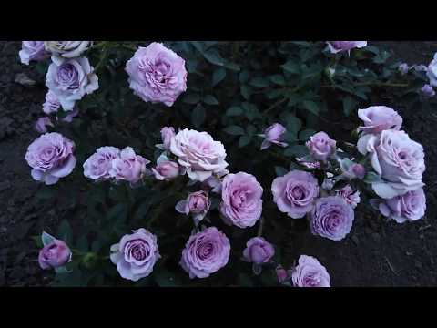 Спрей роза фиолетовая