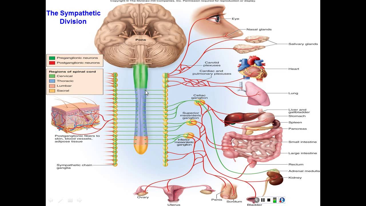 Chapter 15 The Autonomic Nervous System and Visceral Reflexes - YouTube