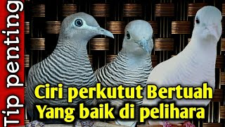 ciri burung perkutut bertuah yang baik di pelihara