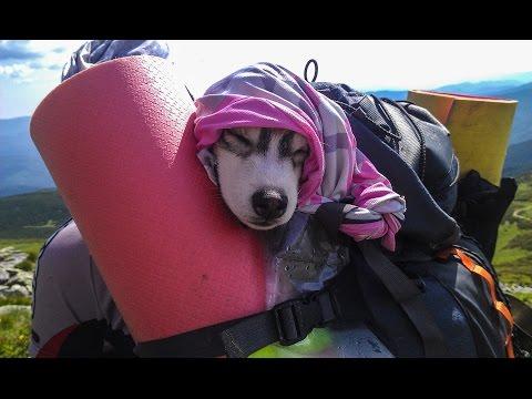 Уставшая хаски спит в рюкзаке // Tired Husky sleeping in backpack