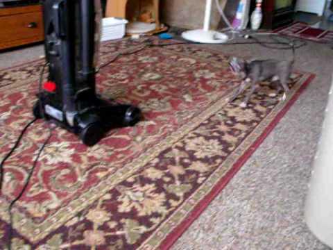 Dog vs Vacum cleaner