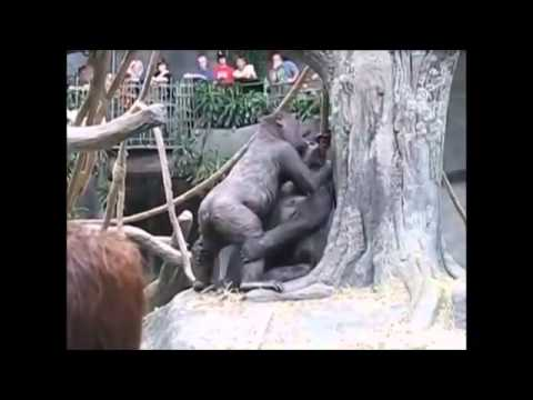 monkey mating at sex dating from youtube · duration:  4 minutes 59 seconds
