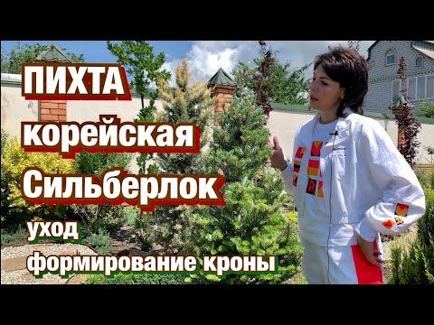 ПИХТА корейская Сильберлок/ Посадка и Уход/ Формирование кроны