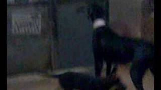 كلب شرس  و جرو لسه  تحت التمرين