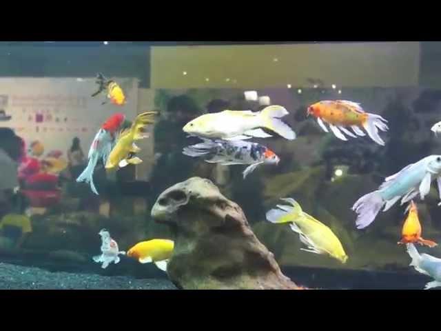 Butterfly Koi Ornamental Fish Youtube