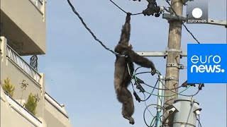Chimp escape: Primate swings from live power lines, falls from electricity pole