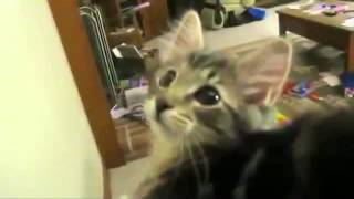 кошка бекает