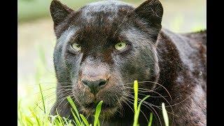 Животный мир Безумные кошки Супер хищник Клык и коготь Сила и скорость Красота и грация Пик атаки