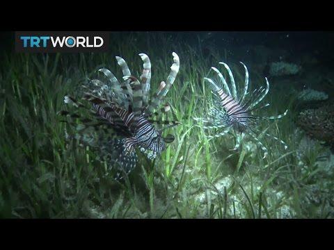 Insight: Invasive Lionfish