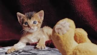 котенок абиссинской породы