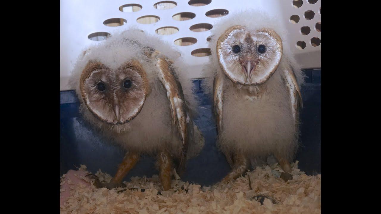Baby Barn Owls Youtube
