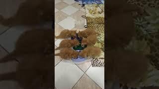 Мейн-кун котята (красные) рыжие