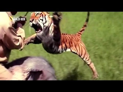 How Can The Tiger Attack Man On Elephant For Answer Watch This Video Youtube