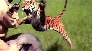 How Can The Tiger Attack Man On Elephant? For Answer Watch This Video