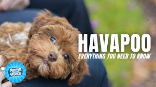 Havapoo Dog Breed Information  Why are they called Velcro Hybrids | Havapoo Dogs 101