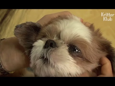 Shih Tzu Dog With A Twisted Neck Gets Water Therapy | Kritter Klub
