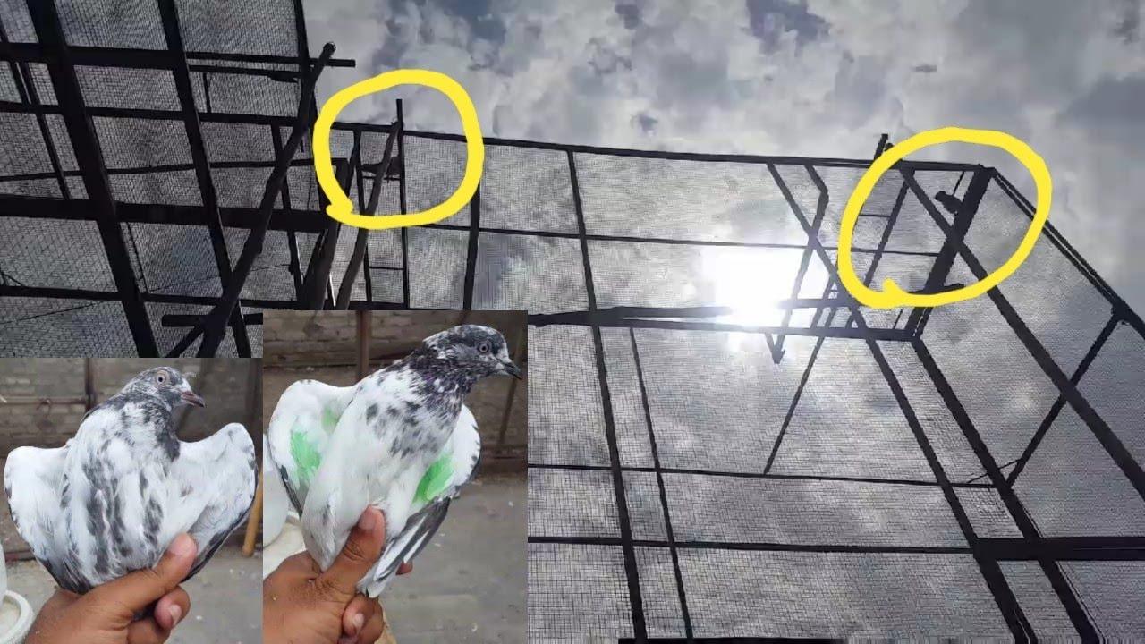 2 Kabootar Aik Sath Pakray Jaal Sy Aik Sath || Hashim Mahmood Pigeons
