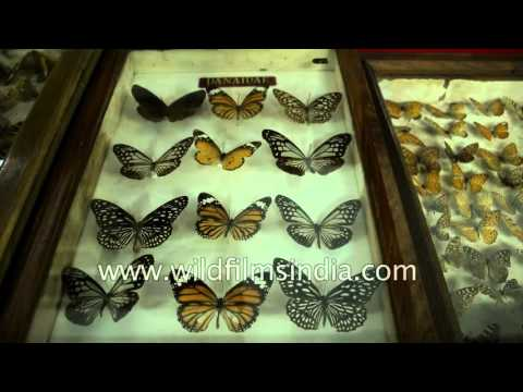 Danaidae, Chestnut tiger, lemon pansy and other butterflies