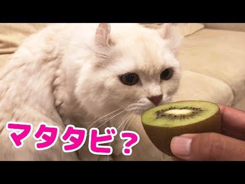 キウイがマタタビと同じ効果があると知って猫に食べさせようとしたら・・・