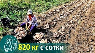 Посадка картофеля с травой без окучивания 🚀 Выращивание по технологии Гордеевых
