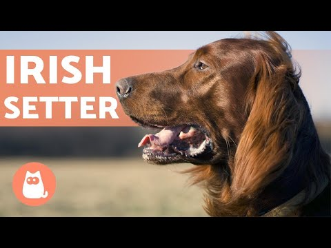 IRISH SETTER 🍀 Characteristics, Character and Health