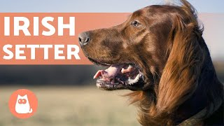 IRISH SETTER  Characteristics, Character and Health