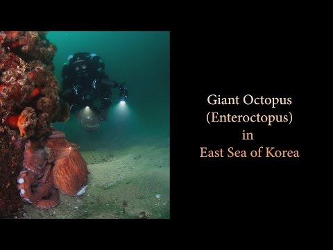 Giant Octopus in East Sea of Korea