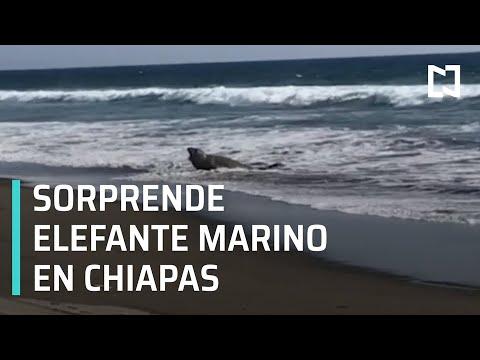 Aparece elefante marino en playa de Chiapas, es de la Patagonia - Las Noticias con Hurtado