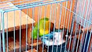 Lovebird Kawin.3GP