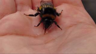 Nature ( bumble bee )